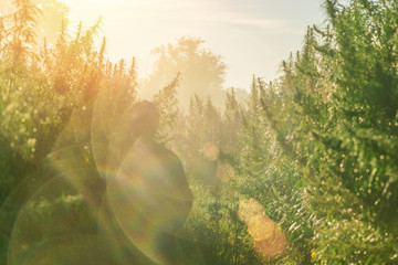 Silhouette of a man on a cannabis plantation in sunlight