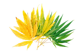 Yellow and Green cannabis leaves on a white background. Isolated