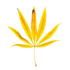 Yellow leaf of hemp on a white background. Isolated