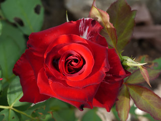 Close up the flower of rose.