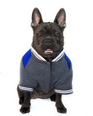 full body mascot  type portrait,  of a blue French bulldog dressed in college high school sports gear, on a white isolated background, front view eyes looking straight, copy space on jacket