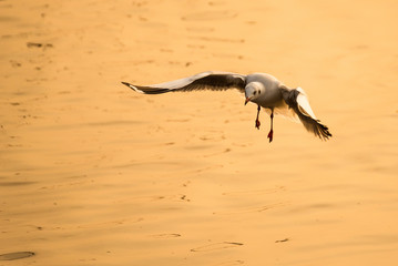 Flying Seagull taking food from the sea at Bangpoo.Thailand.