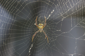 Black and yellow garden spider on web with black background