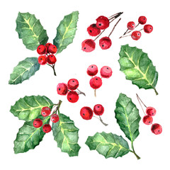 European Holly or Ilex aquifolium leaves and fruit. Xmas Mistletoe