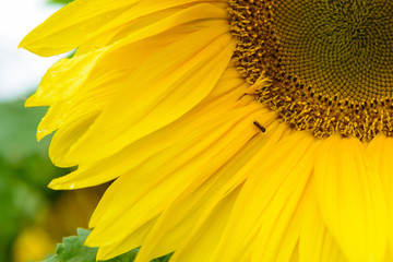 Sunflower flower in garden. Lovely big Sunny flowers close. Young sunflowers seeds.