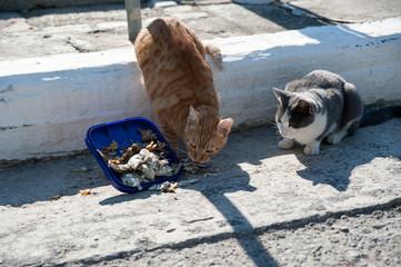 Straßenkatzen fressen Fisch auf samos
