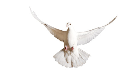 white pigeon flying isolated on a white background