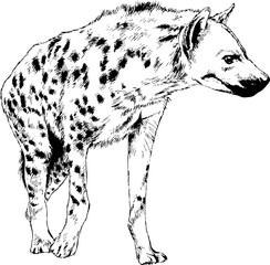hyena is drawn with ink from hands without the background sketch