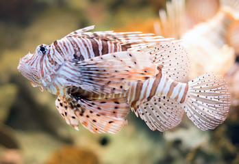 Close-up view of Red lionfish. Pterois volitans.