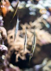 Several Shrimpfishes or razorfishes. Aeoliscus strigatus.
