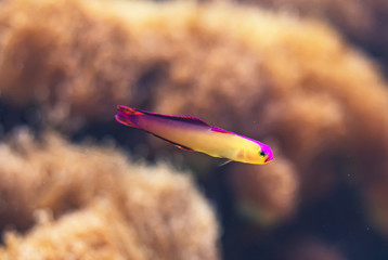 Close-up view of Red Fire Goby. Nemateleotris magnifica.