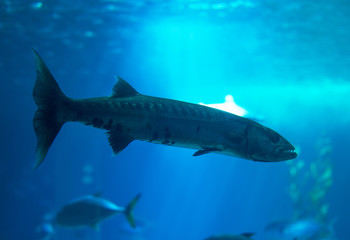 Great barracuda swimming in the sea.