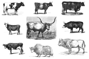 Cows and bulls. Black and white illustration.