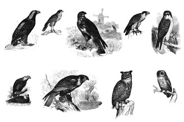 Black and white illustration of birds.