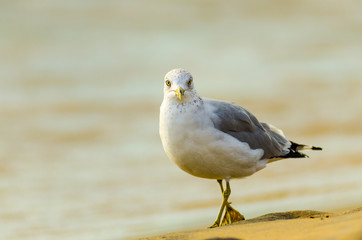 A ring-billed seagull (larus delawarensis) walking on a windy Lake Michigan beach at Grand Haven, Michigan
