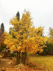 yellow maple tree in the fall and autumn time