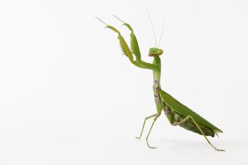Praying mantis (Mantis religiosa) isolated on white