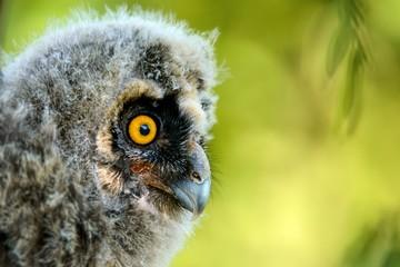 portrait of a juv long-eared owl (Asio otus)