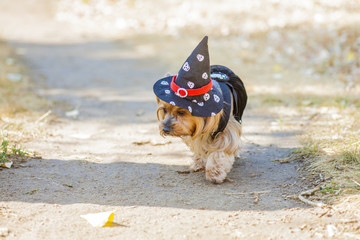 halloween witch yorkshire terrier
