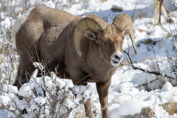Bighorn Ram in the Snow - Colorado Rocky Mountain Bighorn Sheep