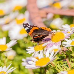 Beautiful Butterfly with orange and white spots on wings on white bloom