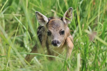 Little deers in the grass. Spring in the nature. Capreolus capreolus. Baby deer.Wildlife scene from nature.