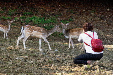 Woman photographing deer in the wild, Slovenia.