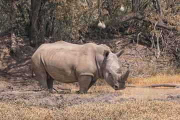 white rhino in the bush