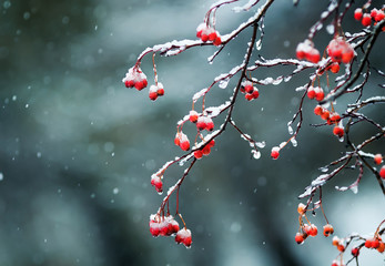 bright red Rowan berries in the garden are covered in raindrops and crystal snow