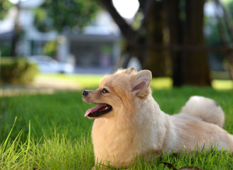 A brown cute Pomeranian dog chilling in garden in soft lighting background