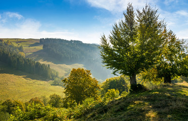 trees on hillside in mountainous countryside. lovely early autumn landscape in fine weather