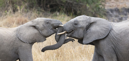 Two elephant greet affectionate with curling and touching trunks