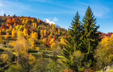 autumn in mountainous rural area. two huge spruce trees in front of a hill with forest in yellow foliage