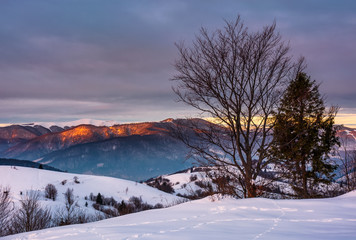trees on the snow covered hill at sunrise. gorgeous mountain ridge with snowy top far in the distance
