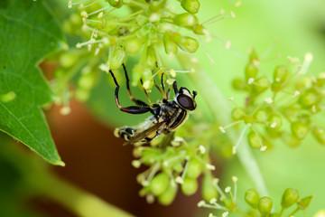 Schwebfliege auf Weinblüten, Insekt, Natur