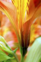 Fototapete - Closeup of orange Peruvian lily flower