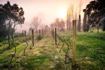Winter mornng in the vineyard