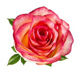 Fresh beautiful rose isolated on white background with clipping path