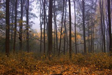 Foggy forest in autumn season, misty weather.