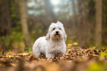 Coton de Tulear Dog autumn portrait