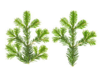 Spruce twigs Branch coniferous christmas tree white background