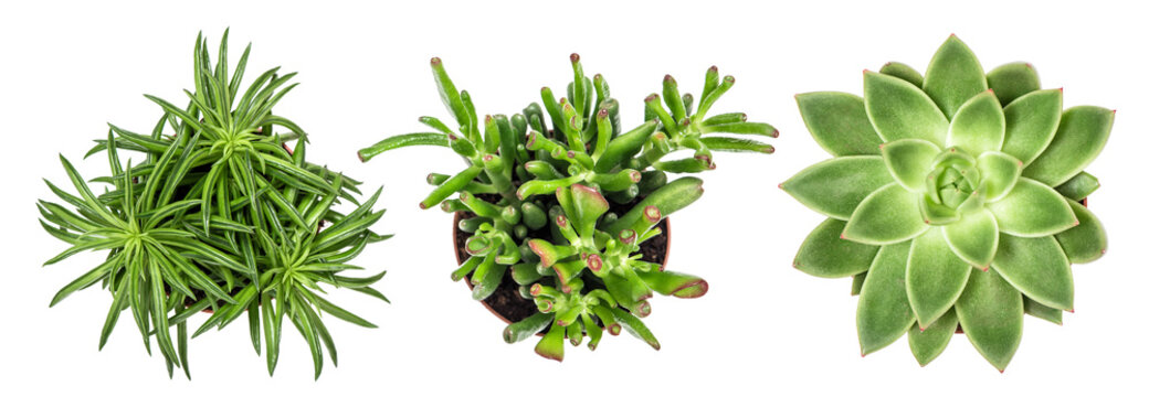 Succulent plants white background Top view