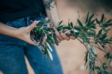 Soft focus close up shot of female florist or decorator hands holding branch of organic natural olives from tree in provence french garden in rural countryside, romantic flora