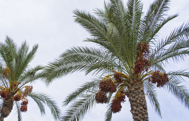 Green palm with a date fruits on a blue sky. Antalya, Turkey