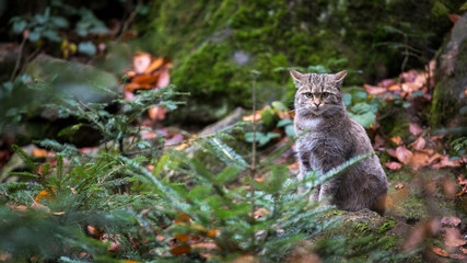 Wild cat (Felis silvestris) in European forest. Image with space for a text