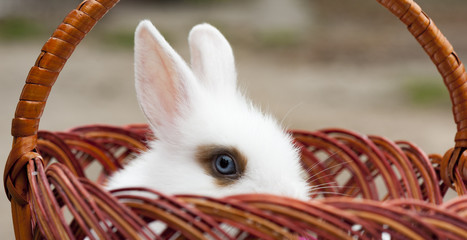 The panorama of small deorative white rabbit is sitting into the basket and peeps out. The Easter and celebration at home concept