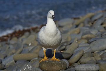 Female Kelp Goose (Chloephaga hybrida malvinarum) on the rocky coast of Sea Lion Island in the Falkland Islands.