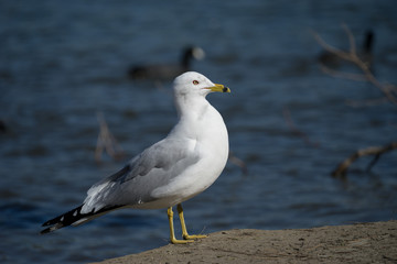 Ring Billed Gull on Lakeshore