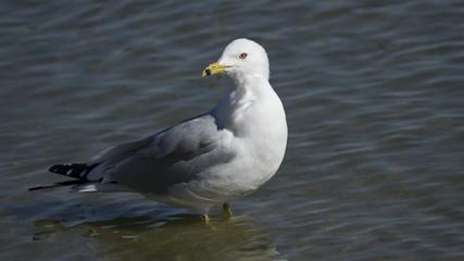 Ring Billed Gull Wading in Lake
