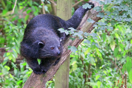 Bearcat / Binturong walking on a branch facing the camera